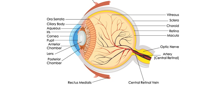 The Anatomy Of The Human Eye